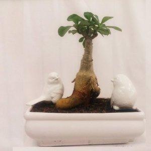 بونسای آدنیوم پیوندی گلدان سفید