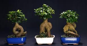 بونسای جینسینگ ginseng bonsai