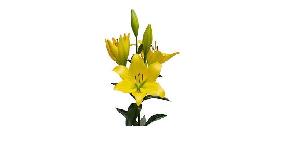 راهکار افزایش عمر گل لیلیوم