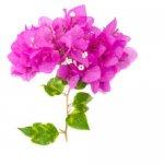 گل کاغذی  Bougainvillea