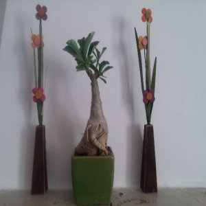 آدنیوم پیوندی گلدان سبز