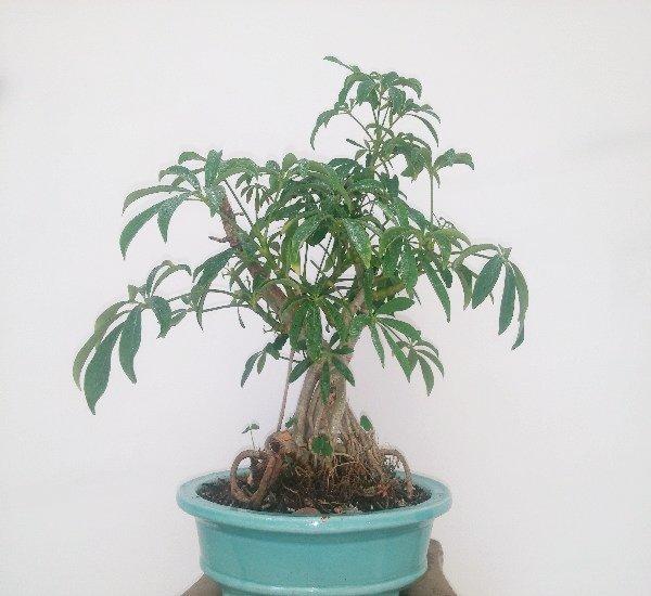 بونسای شفلرا -گلدان سبز