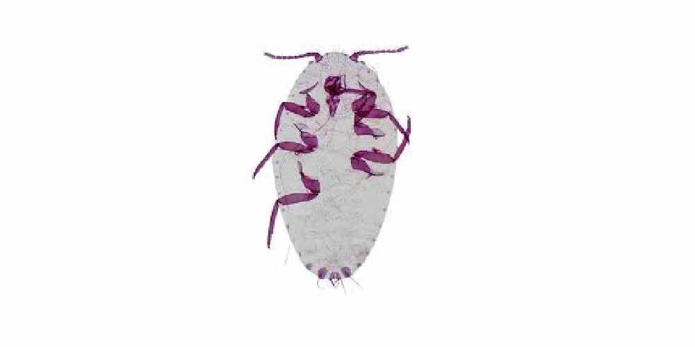 شپشک آرد آلودPseudococcus sp